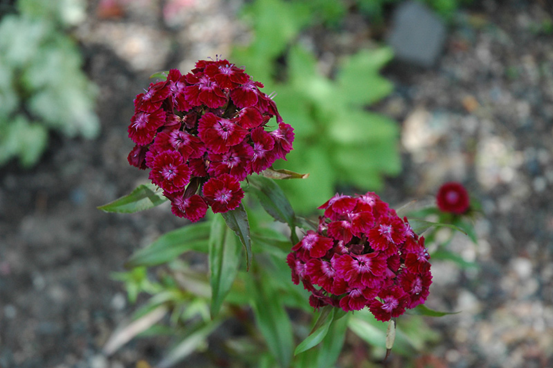 Sweet William (Dianthus barbatus) at Walton's Garden Center