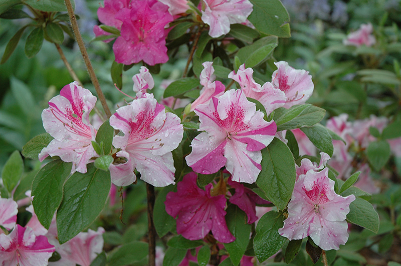 Encore Autumn Twist Azalea (Rhododendron 'Conlep') at Walton's Garden Center