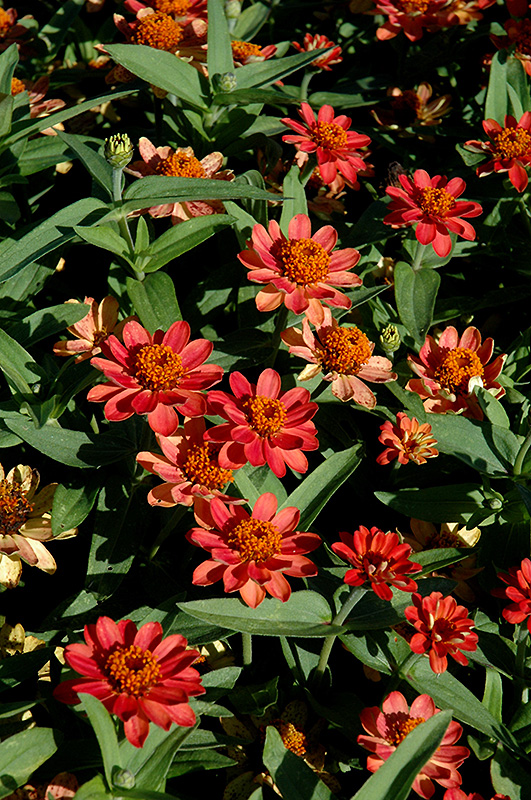 Profusion Deep Apricot Zinnia (Zinnia 'Profusion Deep Apricot') at Walton's Garden Center