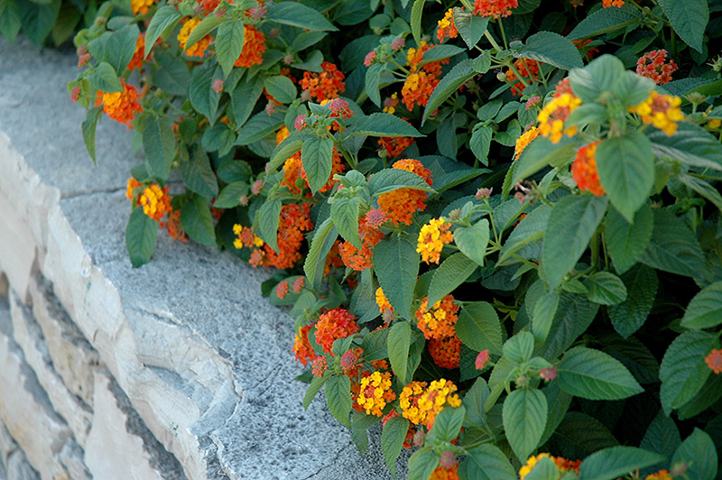 Lucky Red Flame Lantana (Lantana camara 'Lucky Red Flame') at Walton's Garden Center