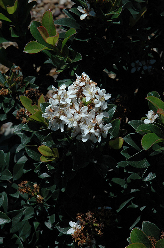 Snow White Indian Hawthorn (Rhaphiolepis indica 'Snow White') at Walton's Garden Center