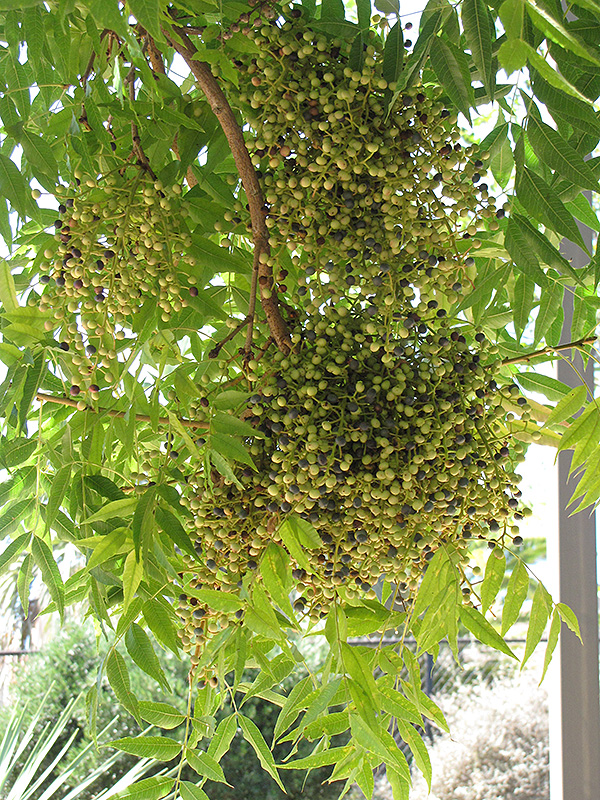 Chinese Pistache (Pistacia chinensis) at Walton's Garden Center