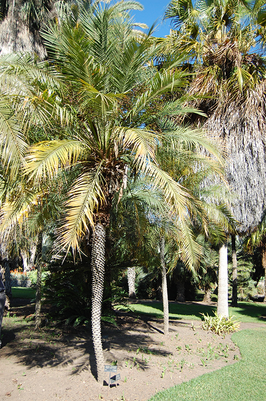 Pygmy Date Palm (Phoenix roebelenii) at Walton's Garden Center