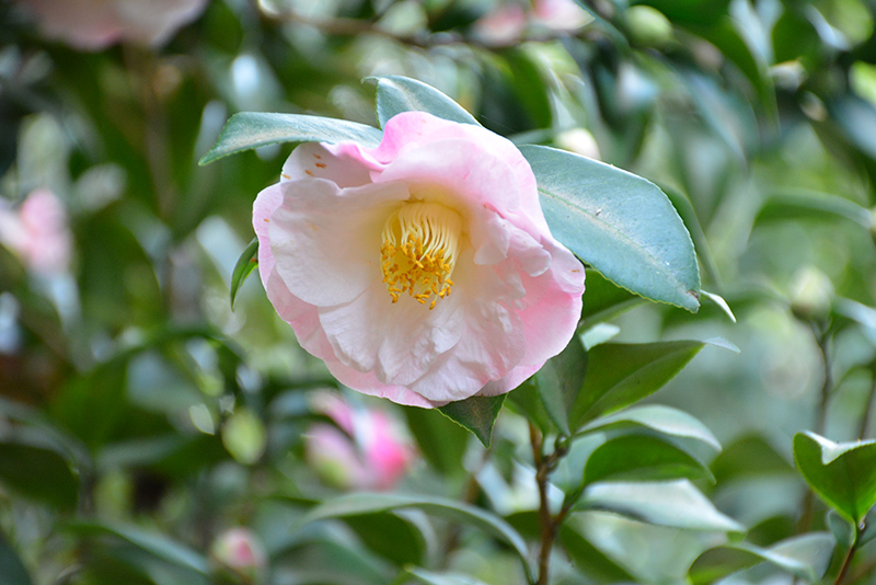 Dr. Tinsley Camellia (Camellia japonica 'Dr. Tinsley') at Walton's Garden Center