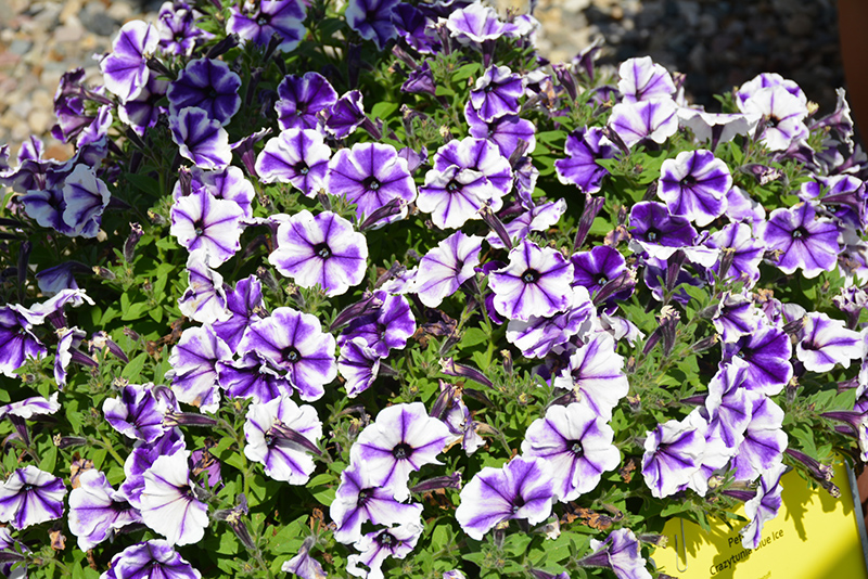 Crazytunia Blue Ice Petunia (Petunia 'Crazytunia Blue Ice') at Walton's Garden Center