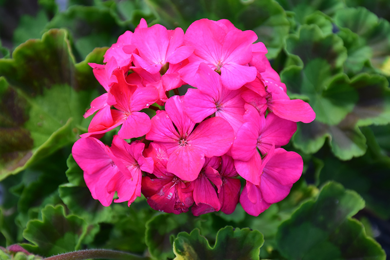 Maverick Rose Geranium (Pelargonium 'Maverick Rose') at Walton's Garden Center