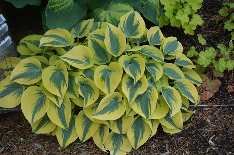 Autumn Frost Hosta (Hosta 'Autumn Frost') at Walton's Garden Center