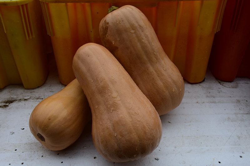 Butternut Squash (Cucurbita moschata 'Butternut') at Walton's Garden Center