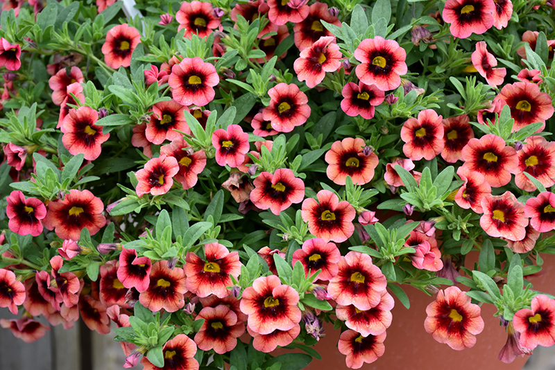 Superbells Coralberry Punch Calibrachoa (Calibrachoa 'Superbells Coralberry Punch') at Walton's Garden Center