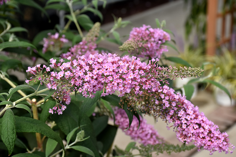 Pink Delight Butterfly Bush (Buddleia davidii 'Pink Delight') at Walton's Garden Center