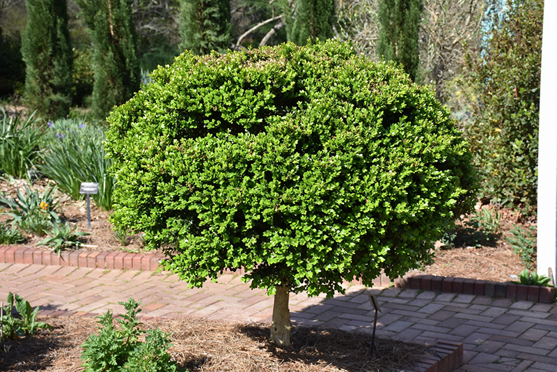 Common Boxwood (tree form) (Buxus sempervirens '(tree form)') at Walton's Garden Center