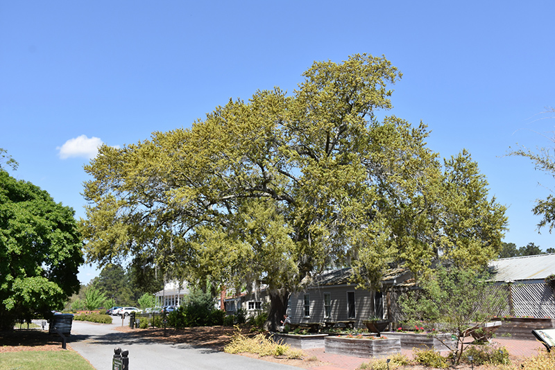 Southern Live Oak (Quercus virginiana) at Walton's Garden Center