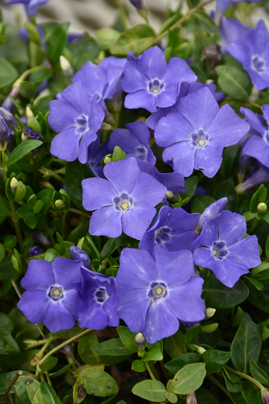 Bowles Periwinkle (Vinca minor 'Bowles') at Walton's Garden Center