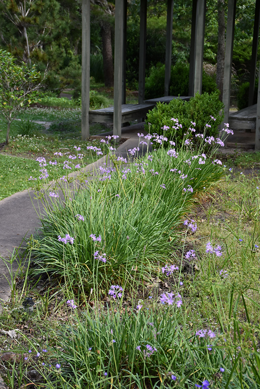 Society Garlic (Tulbaghia violacea) at Walton's Garden Center