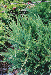 Sea Green Juniper (Juniperus chinensis 'Sea Green') at Walton's Garden Center