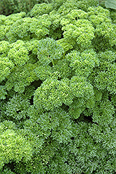 Parsley (Petroselinum crispum) at Walton's Garden Center