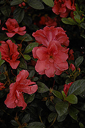 Encore® Autumn Cheer™ Azalea (Rhododendron 'Conlef') at Walton's Garden Center