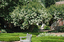 Natchez Crapemyrtle (Lagerstroemia 'Natchez') at Walton's Garden Center