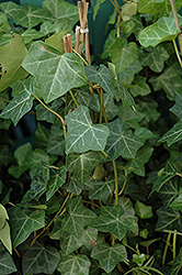 Thorndale Ivy (Hedera helix 'Thorndale') at Walton's Garden Center