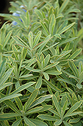 Ascot Rainbow Variegated Spurge (Euphorbia 'Ascot Rainbow') at Walton's Garden Center