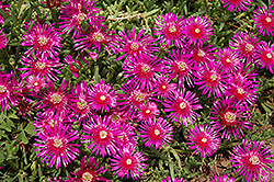 Purple Ice Plant (Delosperma cooperi) at Walton's Garden Center