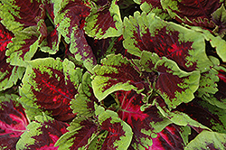 Kong Red Coleus (Solenostemon scutellarioides 'Kong Red') at Walton's Garden Center