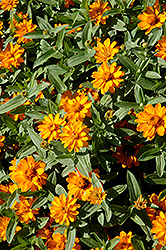 Profusion Double Golden Zinnia (Zinnia 'Profusion Double Golden') at Walton's Garden Center