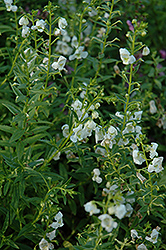 AngelMist® White Angelonia (Angelonia angustifolia 'AngelMist White') at Walton's Garden Center