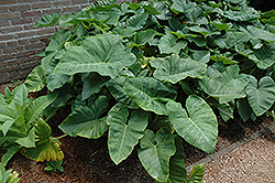 Elephant's Ear (Caladium colocasia) at Walton's Garden Center