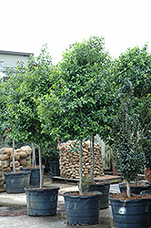 Eagleston Holly (Ilex x attenuata 'Eagleston') at Walton's Garden Center