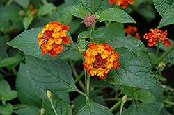Dallas Red Lantana (Lantana camara 'Dallas Red') at Walton's Garden Center