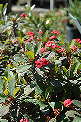 Crown Of Thorns (Euphorbia milii) at Walton's Garden Center