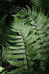Dixie Wood Fern (Dryopteris x australis) at Walton's Garden Center