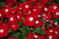 Sunstorm Red Halo Vinca (Catharanthus roseus 'Sunstorm Red Halo') at Walton's Garden Center