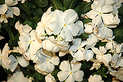 Cora® White Vinca (Catharanthus roseus 'Cora White') at Walton's Garden Center