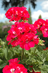 Dynamo Strawberry Geranium (Pelargonium 'Dynamo Strawberry') at Walton's Garden Center