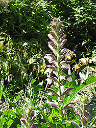 Bear's Breeches (Acanthus spinosus) at Walton's Garden Center