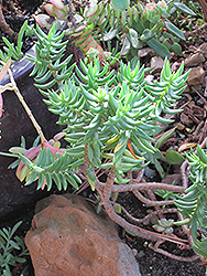 Miniature Pine Tree (Crassula tetragona) at Walton's Garden Center
