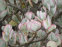 Silver Dollar Plant (Crassula arborescens) at Walton's Garden Center