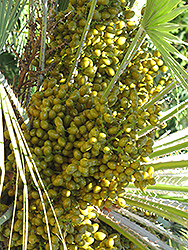 Mediterranean Fan Palm (Chamaerops humilis) at Walton's Garden Center