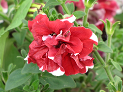 Madness Red And White Double Petunia (Petunia 'Madness Red And White Double') at Walton's Garden Center