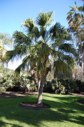 Chinese Fan Palm (Livistona chinensis) at Walton's Garden Center