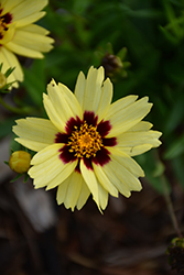 UpTick™ Cream and Red Tickseed (Coreopsis 'Balupteamed') at Walton's Garden Center