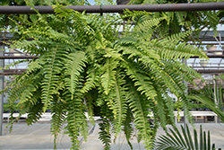 Boston Fern (Nephrolepis exaltata) at Walton's Garden Center