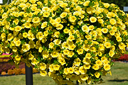 Aloha Canary Yellow Calibrachoa (Calibrachoa 'Aloha Canary Yellow') at Walton's Garden Center