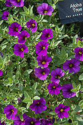 Aloha Kona True Blue Calibrachoa (Calibrachoa 'Aloha Kona True Blue') at Walton's Garden Center