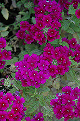 Estrella Dark Purple Verbena (Verbena 'Estrella Dark Purple') at Walton's Garden Center
