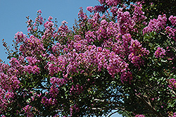 Catawba Crapemyrtle (Lagerstroemia indica 'Catawba') at Walton's Garden Center