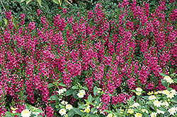 Archangel™ Dark Rose Angelonia (Angelonia angustifolia 'Archangel Dark Rose') at Walton's Garden Center