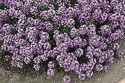 Clear Crystal Lavender Shades Sweet Alyssum (Lobularia maritima 'Clear Crystal Lavender Shades') at Walton's Garden Center